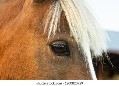 A miniature pony on a hobby farm in rural Manitoba