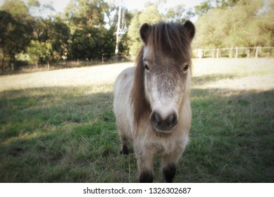 Miniature pony in a pasture
