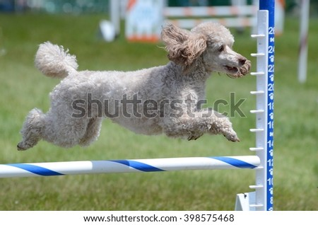 Miniature Poodle Leaping Over a Jump at a Dog Agility Trial