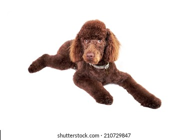 Miniature Poodle lying down isolated on a white background.