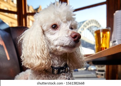 Miniature poodle pet dog in Newcastle upon tyne pub window with view of tyne bridge and pint of beer in the background