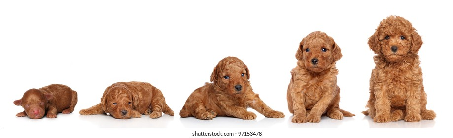 Miniature Poodle. Puppy growing (2 days, 2 week, 3 week, 4 week, 6 week) on a white background