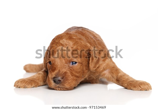 Miniature Poodle Puppy on a white background