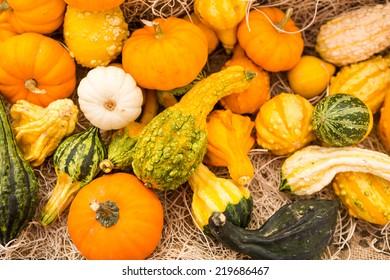 Miniature pumpkins at the pumpkin patch.
