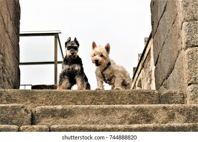 miniature puppies posing, a black and silver miniature schnauzer and a westy,