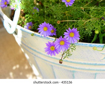 Miniature Purple Daisy