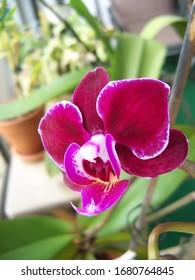 Miniature purple Phalaenopsis orchid up close
