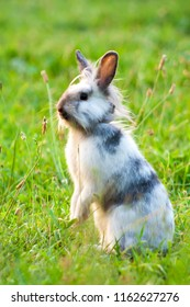 a miniature rabbit standing on hind legs in the grass
