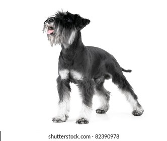 Miniature Schnauzer, 1 years old, isolated on white background