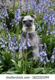 Miniature Schnauzer amongst bluebells in the garden