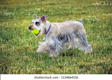 A miniature schnauzer with a ball in a park in north Idaho.