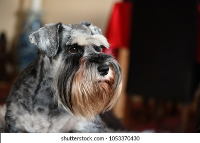 Miniature Schnauzer bitch with natural ears in pepper and salt color, champion and very typical breed representative