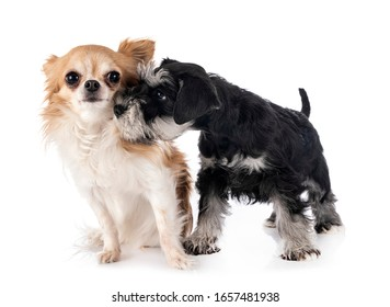 miniature schnauzer and chihuahua in front of white background