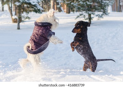 A miniature schnauzer and a dachshund playing in snow in a park