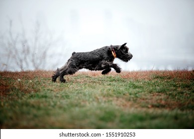 Miniature Schnauzer dog at Autumn park - Shutterstock ID 1551910253