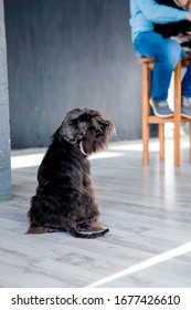 Miniature schnauzer dog at home. Dog at studio. Training dog