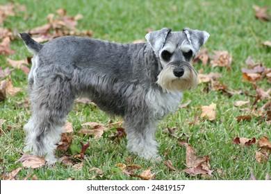 Miniature Schnauzer dog looking at camera.