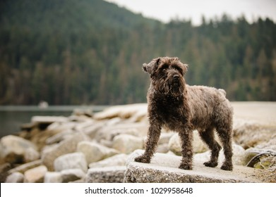 Miniature Schnauzer dog outdoor portrait standing on rocks