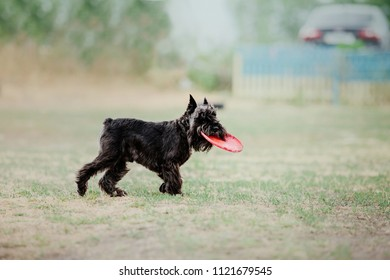 Miniature schnauzer dog playing with disc - Shutterstock ID 1121679545