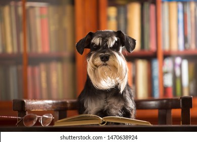 Miniature schnauzer dog reads a book in the library