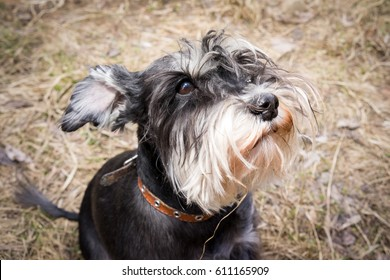 Miniature schnauzer dog is sitting on the dry grass