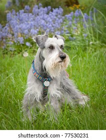 Miniature schnauzer dog standing in the green grass purple flowers in background