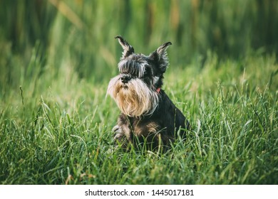Miniature Schnauzer Dog Or Zwergschnauzer Funny Fast Running Outdoor In Summer Green Grass.