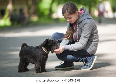 Miniature schnauzer  drinks water from hands
