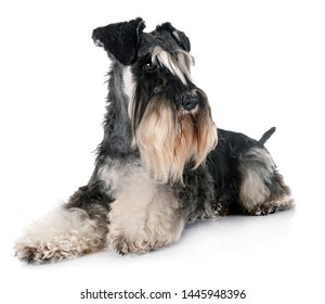 miniature schnauzer in front of white background