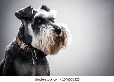 Miniature Schnauzer with full beard and copper collar