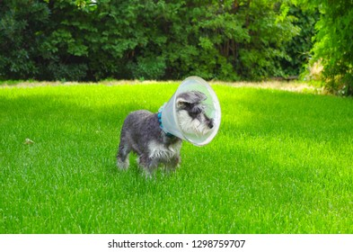 Miniature schnauzer in the grass with an Elizabethan collar