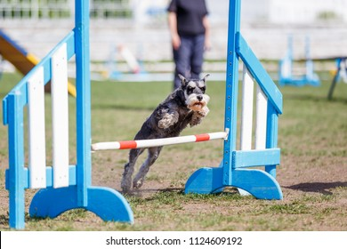 Miniature Schnauzer jumping over hurdle in dog agility competition.