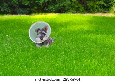 Miniature schnauzer laying in the grass with an Elizabethan collar