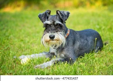 miniature schnauzer laying on the grass