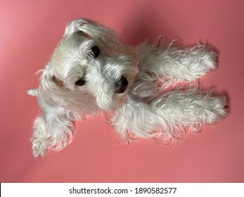 The Miniature Schnauzer originated in Germany during the 19th century as a small farm dog able to rid her family's property of vermin.