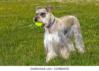 A miniature schnauzer plays with a ball in a park in north Idaho.