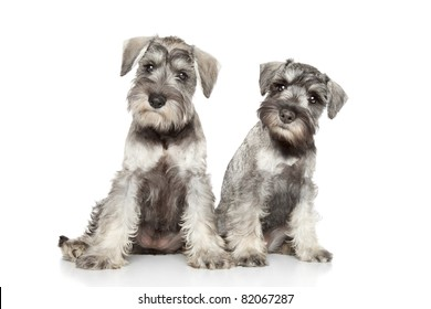 Miniature schnauzer puppies posing on a white background
