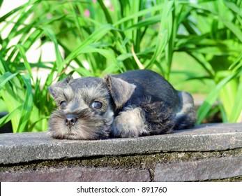 miniature schnauzer puppy on a wall