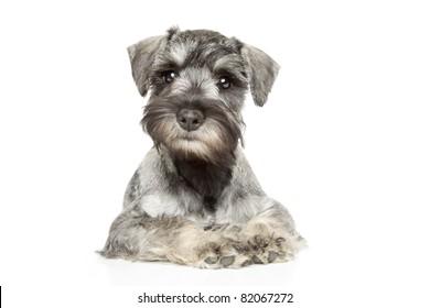 Miniature schnauzer puppy on white background
