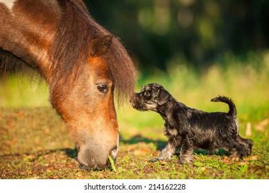 Miniature schnauzer puppy with painted shetland pony