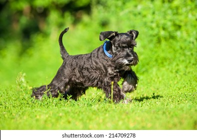 Miniature schnauzer puppy playing outdoors