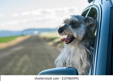 A miniature Schnauzer sticks his head out of a car window in north Idaho.