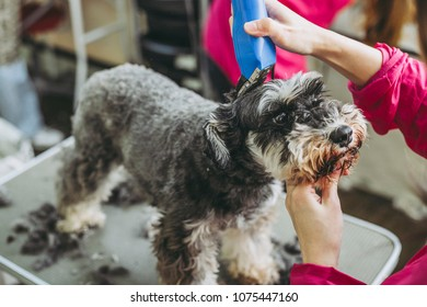 Miniature Schnauzer trimming