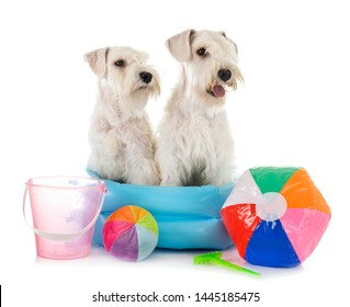 miniature schnauzers in front of white background