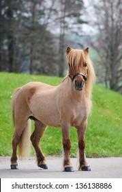 Miniature shetland pony, adult mare, having rare dark cream color