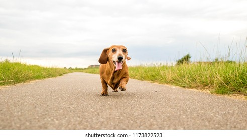 A Miniature Smooth Haired Dachshund running towards the camera.