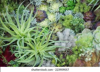 Miniature succulent plants, garden in tray.