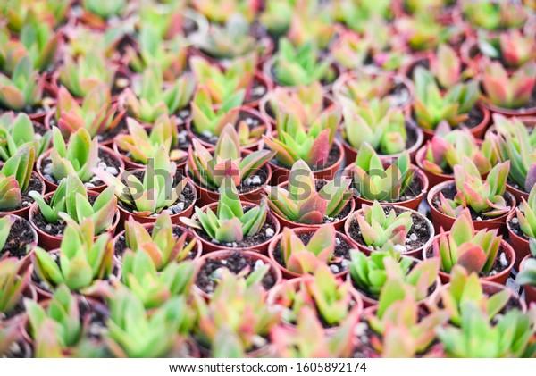Miniature Succulent Plants Pot Decorate Garden Stock Image