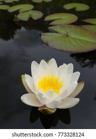 Miniature water lily, Nymphaea