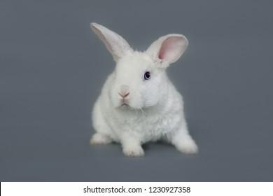 Miniature white rabbit isolated on grey background